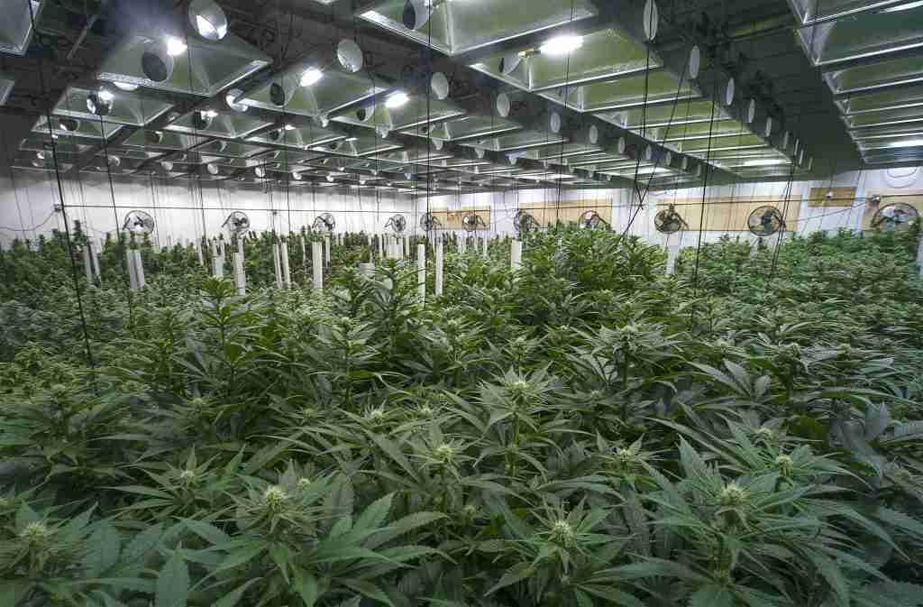 coltivazione indoor di canapa
