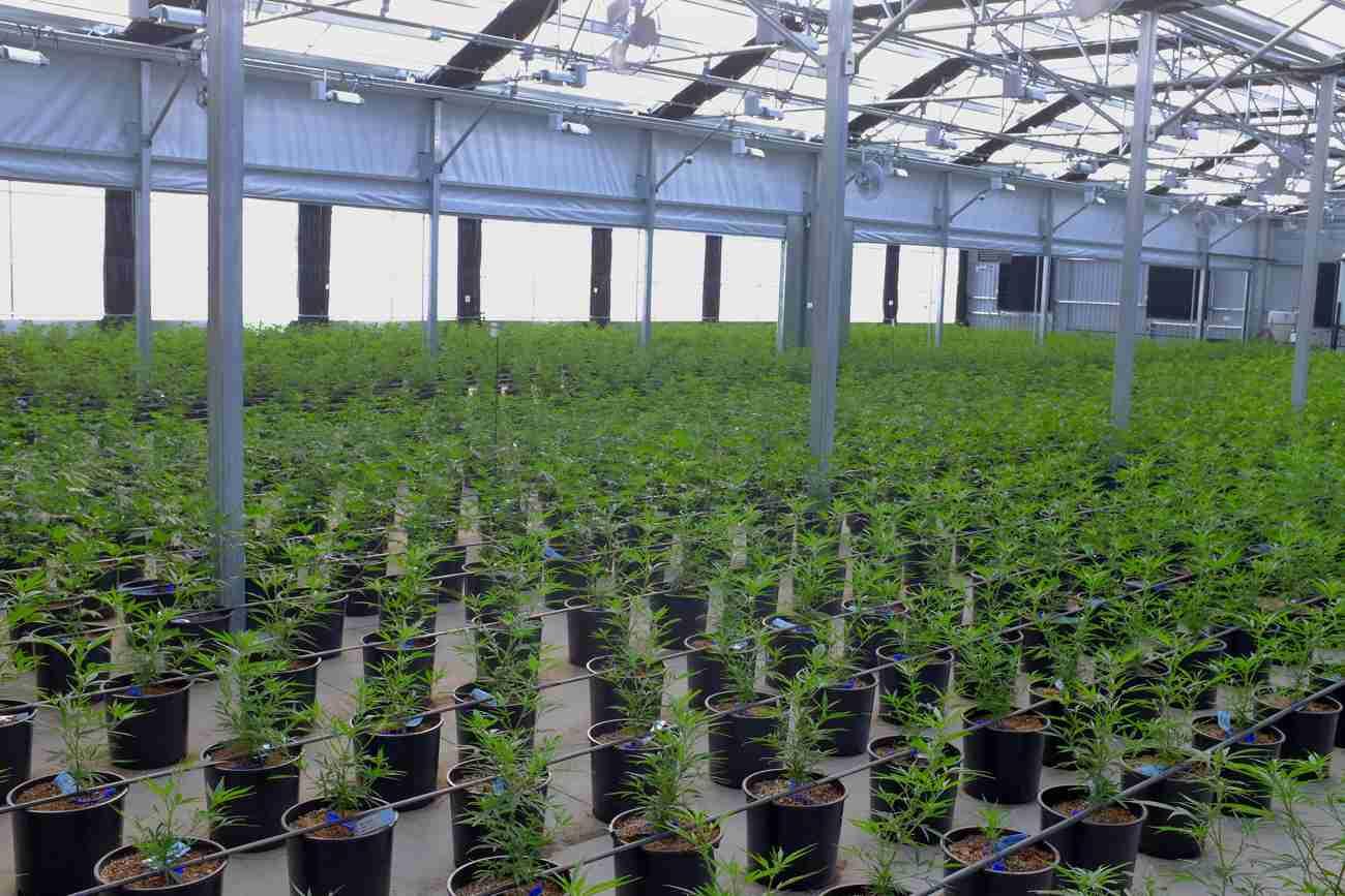 coltivazione cannabis light