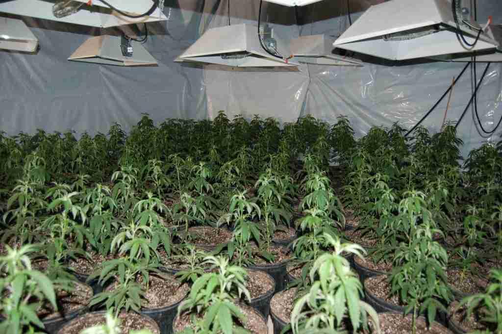 coltivazione ak 47
