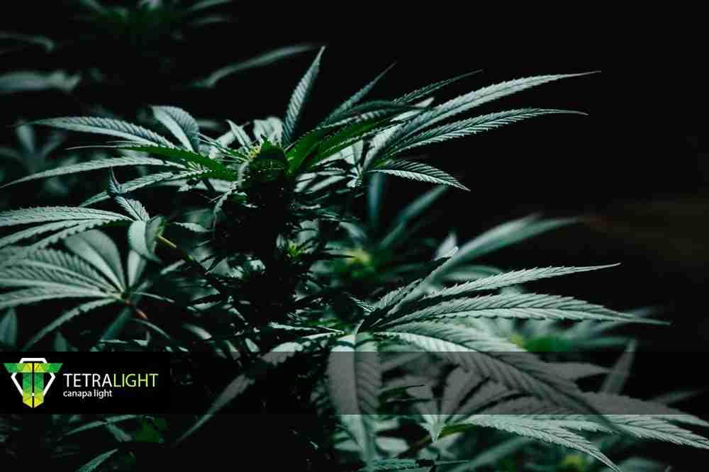 CBD Tetralight.it
