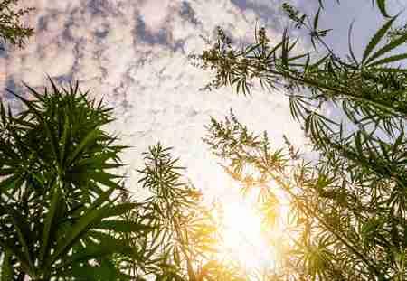 infiorescenze outdoor cannabis light