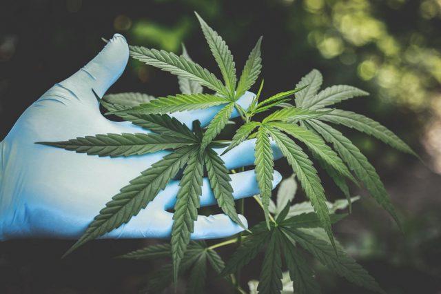 cannabis ricerca covid